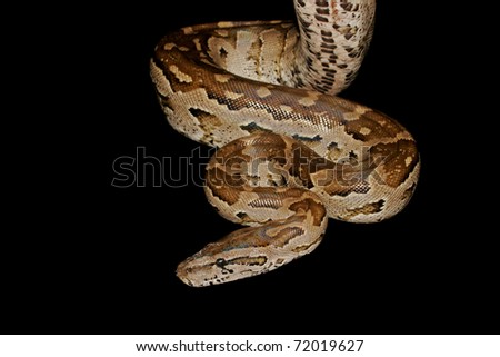 Southern African python (Python natalensis), southern Africa - stock photo