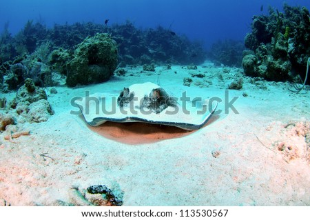 Southern Atlantic Stingray in the Sand