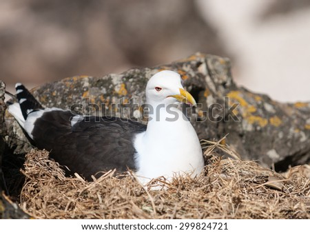 Southern Black Backed Gull, nesting amongst rocks looking after the next generation. - stock photo