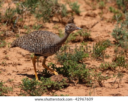 Southern Black Korhaan is a camouflage master when sitting on the ground. - stock photo