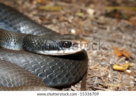 Southern Black Racer (Coluber constrictor priapus) - stock photo