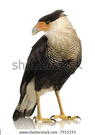 Southern Caracara (3 years) - Polyborus plancus in front of a white background