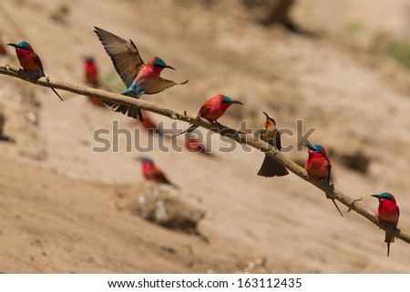 Southern Carmine Bee-eaters (Merops nubicoides) and a White-fronted Bee-eater (Merops bullockoides) perched on a branch