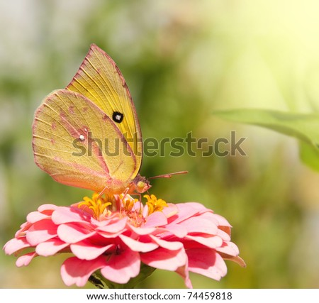 Southern Dogface Butterfly, Colias cesonia, on pink Zinnia flower - stock photo