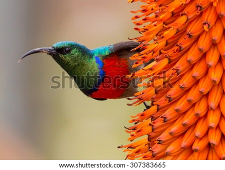 Southern double-collared sunbird perched on an aloe bloom