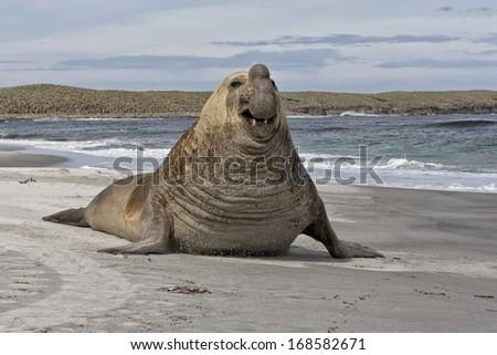 Southern Elephant Seal - stock photo