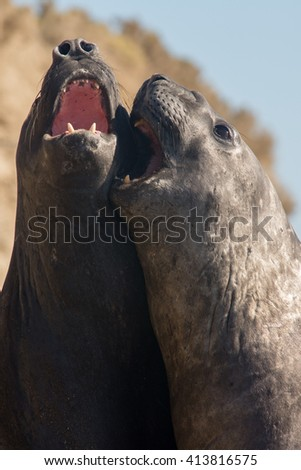 Southern Elephant Seal (Mirounga leonina) playing. Chubut, Patagonia Argentina, South America. - stock photo