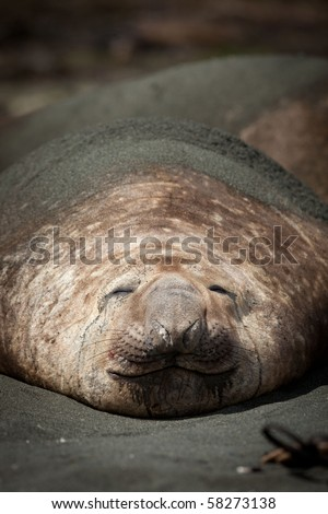 Southern Elephant Seal, Mirounga leonina, Sandy Bay on Macquarie Island, Sub-antarctic Islands, Australia