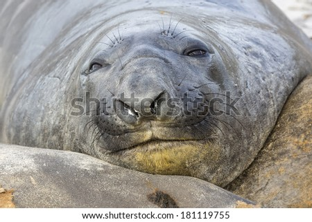 Southern Elephant Seal - moulting juveniles at rest