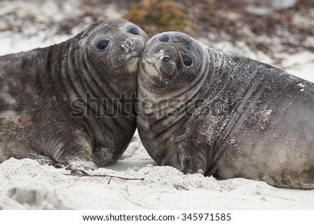 Southern Elephant Seal pups (Mirounga leonina) on a sandy beach on Sealion Island in the Falkland Islands. - stock photo