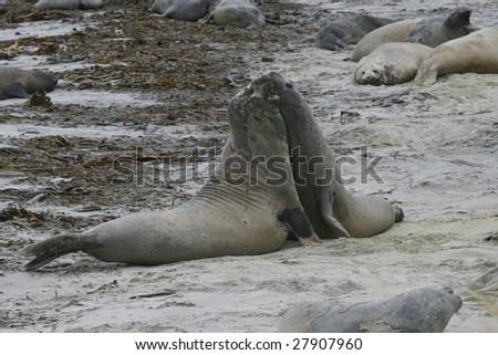 Southern elephant seals (Mirounga leonina) on the beach on Seal Lion Island, Falkland Islands