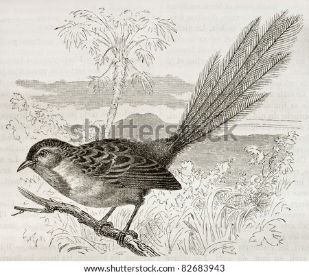 Southern Emu-wren old illustration (Stipiturus malachurus). Created by Kretschmer, published on Merveilles de la Nature, Bailliere et fils, Paris, 1878 - stock photo