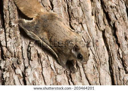 Southern flying squirrel clinging to a tree at night in southeastern Illinois - stock photo
