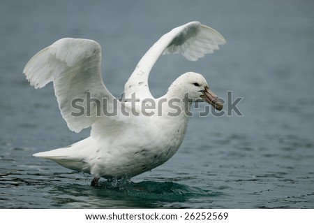 Southern Giant Petrel - stock photo