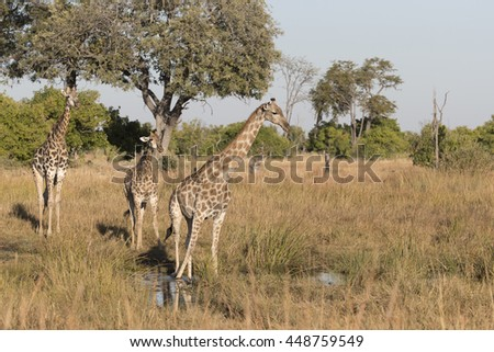 Southern Giraffes in grasslands of Moremi, Botswana - stock photo