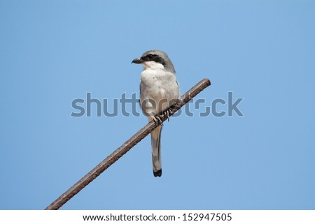 Southern Grey Shrike erched on a metal rod