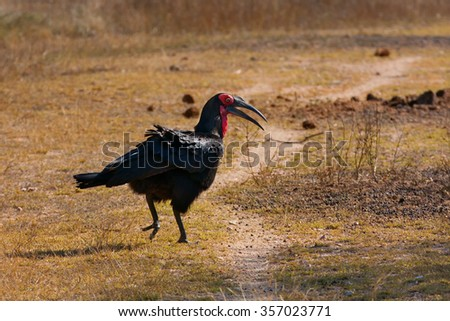 Southern Ground Hornbill, Bucorvus leadbeateri, walking in South Africa's Kruger Park - stock photo