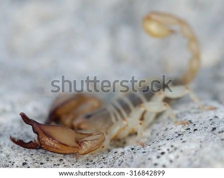 Southern italian small wood-scorpion (Euscorpius sicanus) - stock photo