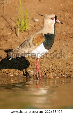 Southern Lapwing (Vanellus chilensis). Patagonia, Argentina, South America. - stock photo