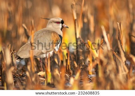 Southern Lapwing (Vanellus chilensis) standing among vegetation in a marsh, looking at the camera. Patagonia, Argentina, South America. - stock photo