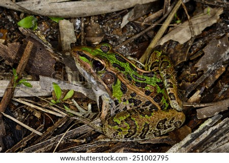 southern leopard frog - stock photo