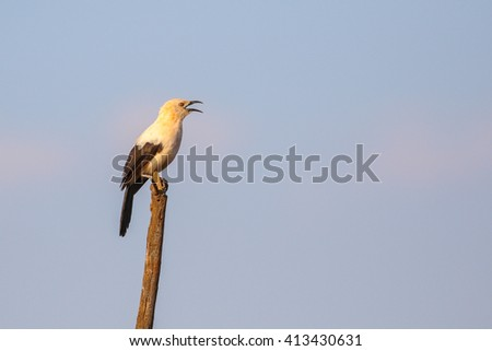 Southern pied babbler bird perched on stick