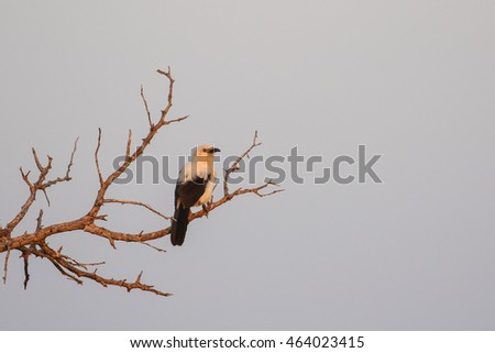 Southern pied babbler perched in tree