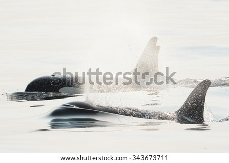 Southern Resident Killer Whale Family - stock photo
