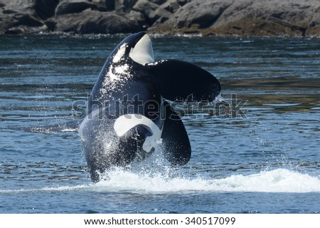 Southern Resident Killer Whale Male Onyx (L87) Breaches - stock photo