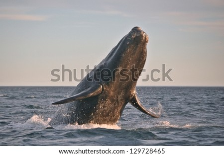Southern Right Whale in Argentina waters - stock photo