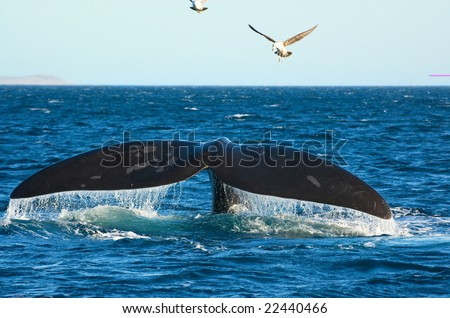 Southern Right whale in Puerto Piramides, Peninsula Valdes, Patagonia, Argentina. - stock photo