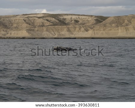 Southern Right Whale, seen at Purto Pyramides, Patagonia, Argentina. - stock photo