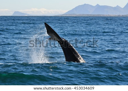 Southern Right Whale tail / Side on Tail