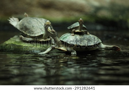 Southern river terrapin (Batagur affinis), also known as the Batagur. Wildlife animal.  - stock photo
