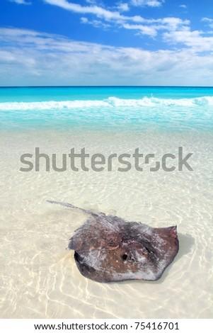 southern stingray Dasyatis americana in Caribbean beach Contoy Mexico [Photo Illustration] - stock photo