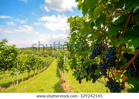 Southern Styria Austria - Red wine: Grape vines in the vineyard before harvest - stock photo