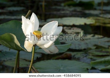 SOUTHERN, THAILAND:  White waterlily in Phatthalung Province of Thailand.