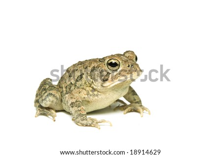 Southern Toad (Bufo terrestris) Isolated on a white background - stock photo