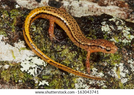 Southern Two-lined Salamander (Eurycea cirrigera) - stock photo