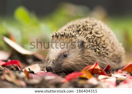 Southern white-breasted hedgehog - stock photo