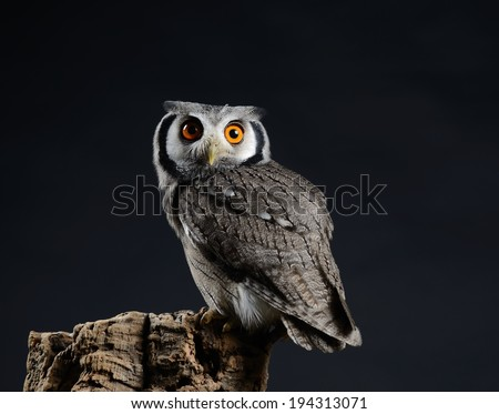 Southern White-faced owl (Ptilopsis granti), low key studio shot taken against dark background. Small owl with vivid orange eyes perched looking directly at the camera. - stock photo