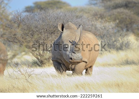 Southern White Rhino in grass field surrounded by thorn bushes  - stock photo