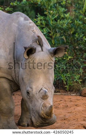Southern White Rhinoceros sleeping in the Weldgevonden Game Reserve in South Africa