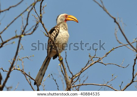 Southern yellow-billed hornbill in Kruger NP,South Africa - stock photo