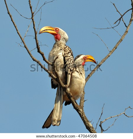 Southern yellow-billed hornbills in Kruger NP,South Africa - stock photo