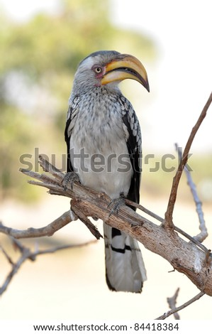 Southern yellowbilled hornbill in the Kruger Park, South Africa