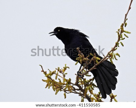 Southwest USA Beautiful Great-tailed Grackle Male black with yellow eyes, black bills and legs. Females are dark brown, paler below, with stripe above the eye. - stock photo