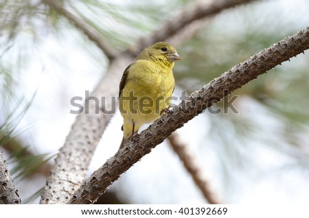 Southwest USA Beautiful Pale Olive Yellow Female Lesser Goldfinch, dull yellow  and black wings marked by two whitish wing. With short, pointed gray bill Short tail Faint, pale yellow