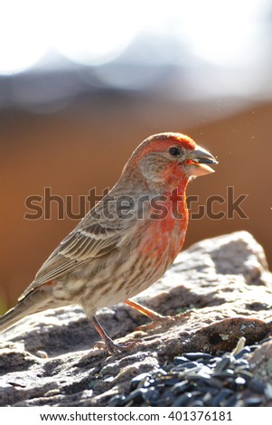 Southwest USA Beautiful Red Male House Finches Red Male are small finches the wings are short, making the tail seem long. Bright orange red on forehead, throat, and breast Brown back and wings