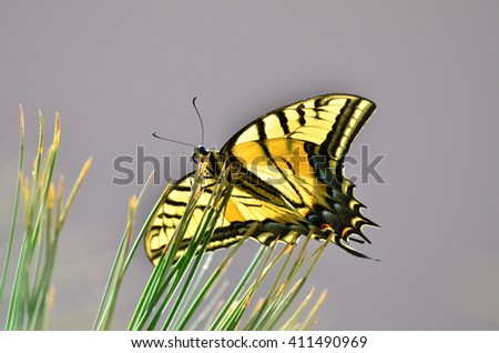 Southwest USA Beautiful Swallowtails butterfly Yellow and Black on pine needles  - stock photo